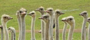 ostriches-373339_1920